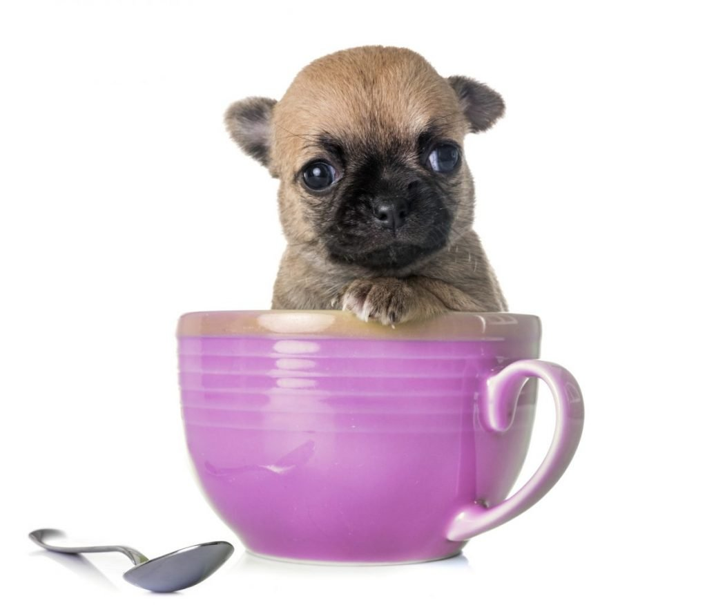 teacup chihuahua in a cup