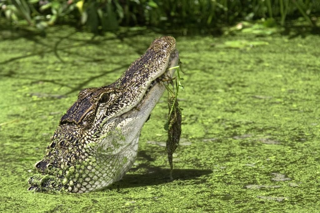 backwater swamp alligator
