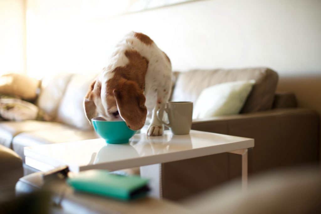 dog stealing english walnuts