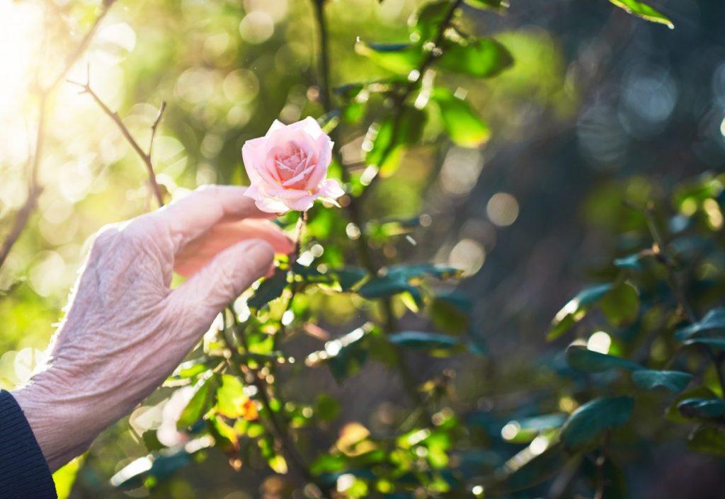 Roses love tea leaves