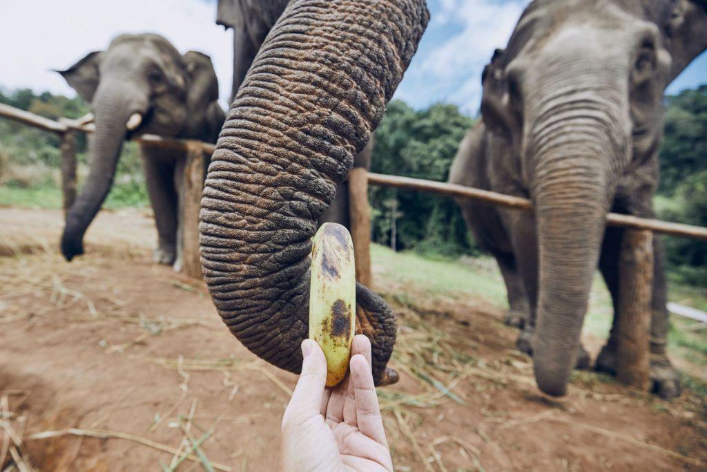Hand with banana feeding to elephant. Chiang Mai Province, Thailand.