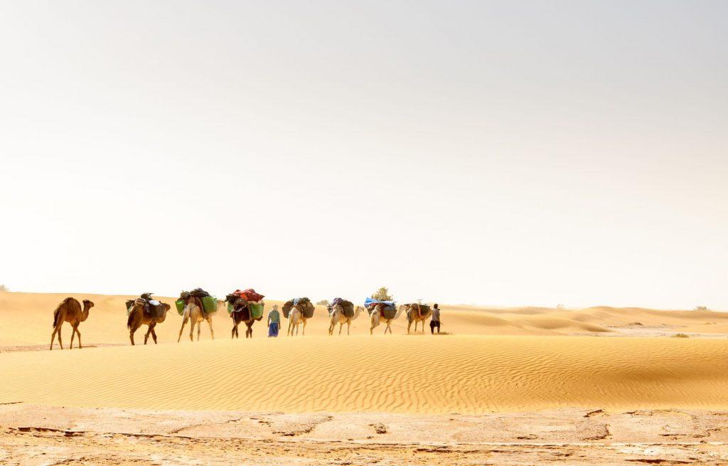 Dromedary caravan among sand dunes, Draa valley (Morocco)