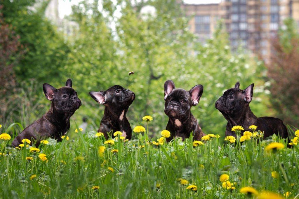 Cute black dog tall grass and yellow flowers. French Bulldog Puppies in a city park
