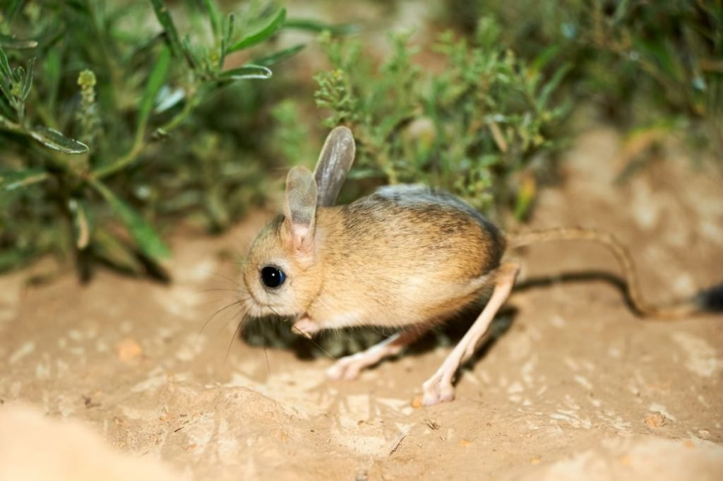The jerboa are a steppe animal and lead a nocturnal life