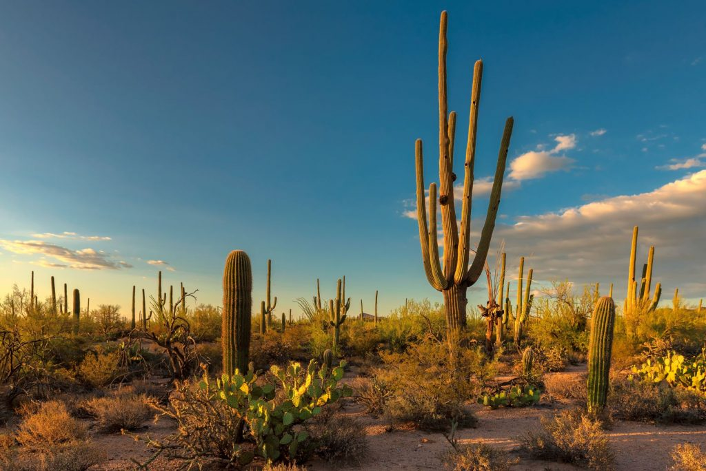 A Giant Saguaro, one of the largest cacti in the World, in Saguaro National Park, near Tucson Arizona.