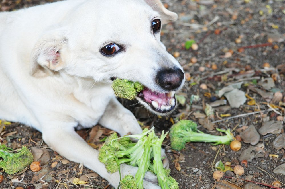 White dog eating broccoli