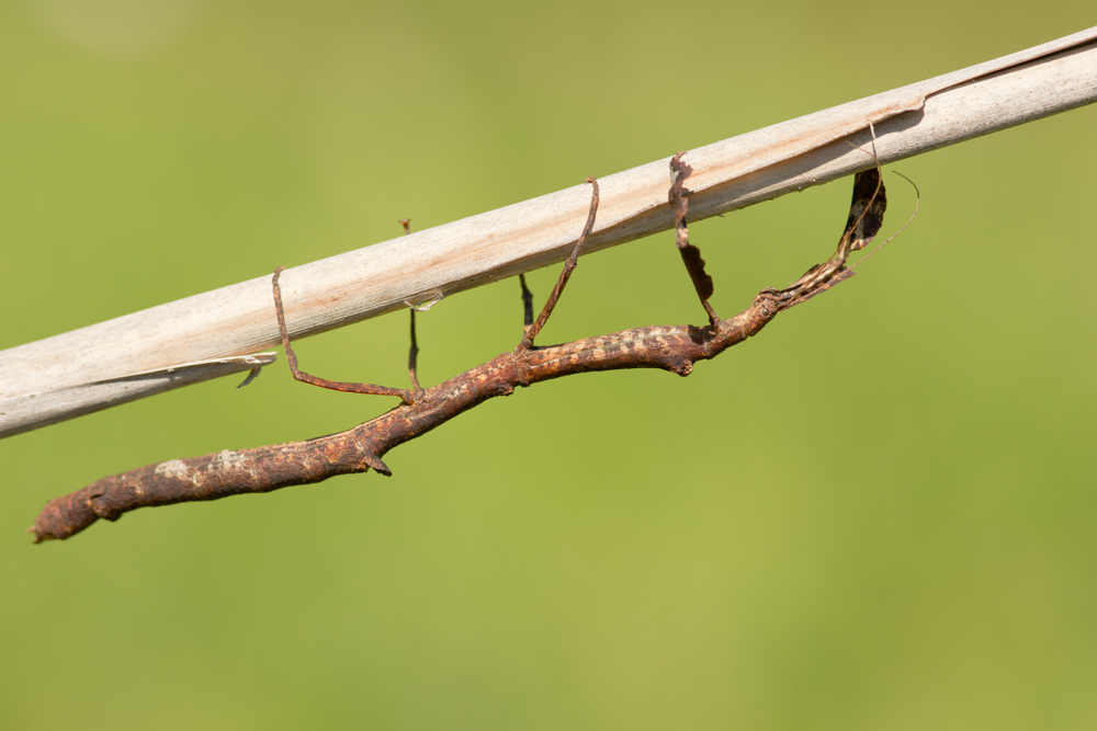 Hermagoras megabeast is a bug from the order Phasmatodea and the family Phasmatidae.