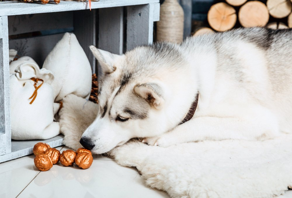 Husky dog on a rug sniffing nuts