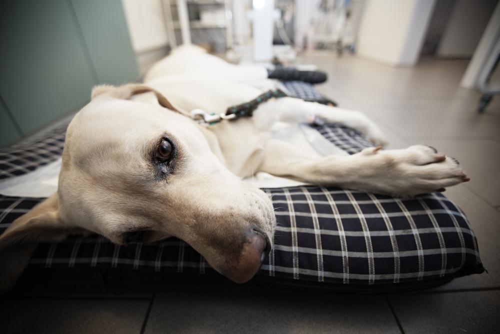 Ill labrador retriever in veterinary clinic