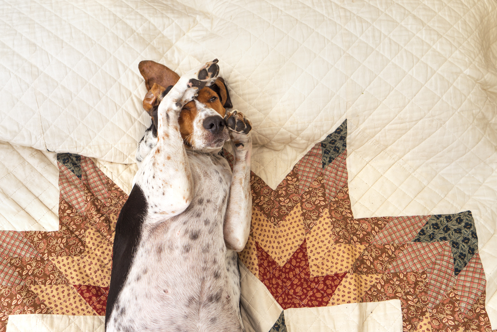 Treeing Walker Coonhound dog lying upside down sleeping on human bed with quilt looking relaxed pampered cozy comfortable exhausted ashamed adorable with paw on head