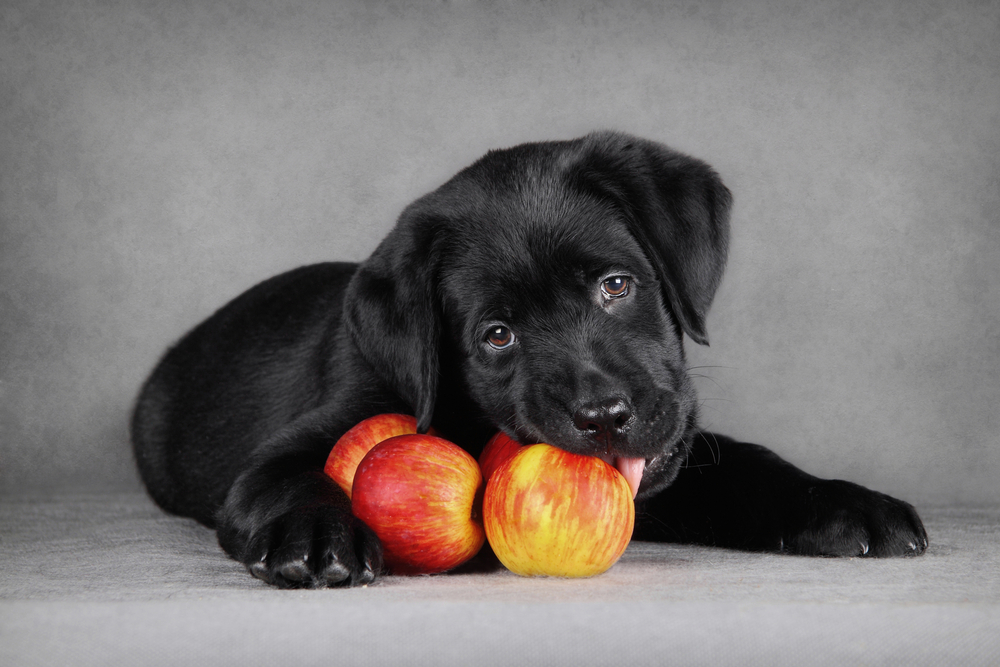 lab puppy with apples