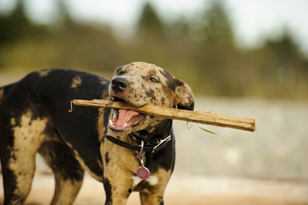 Catahoula Leopard Dog puppy playing with stick at beach