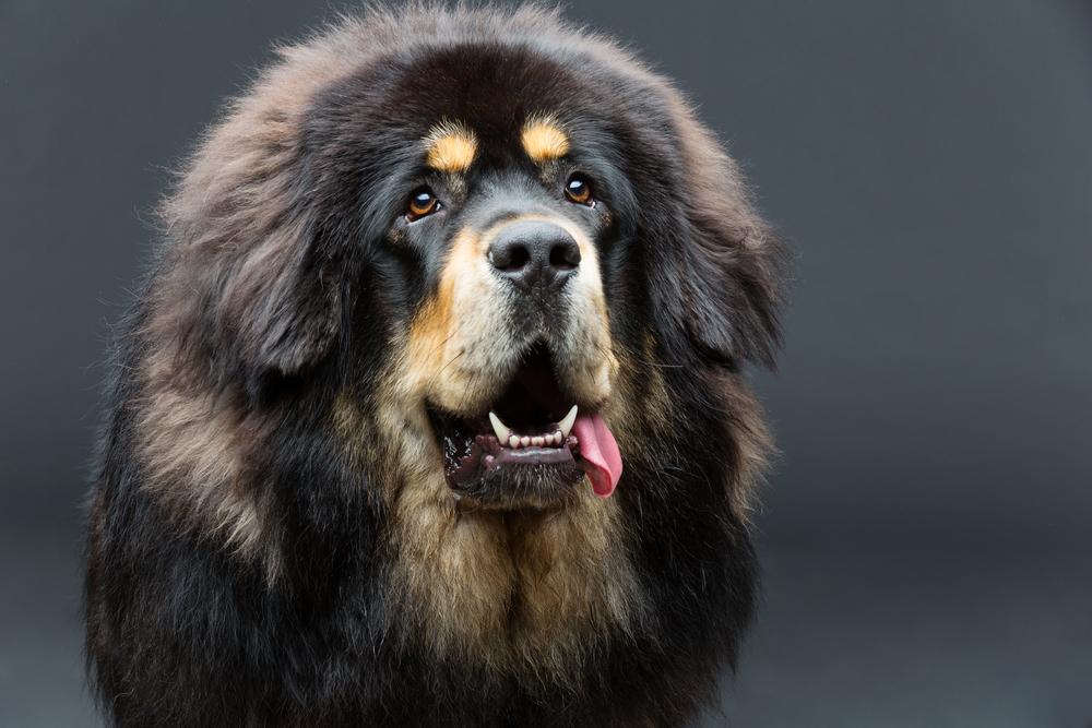 Beautiful big Tibetan mastiff dog
