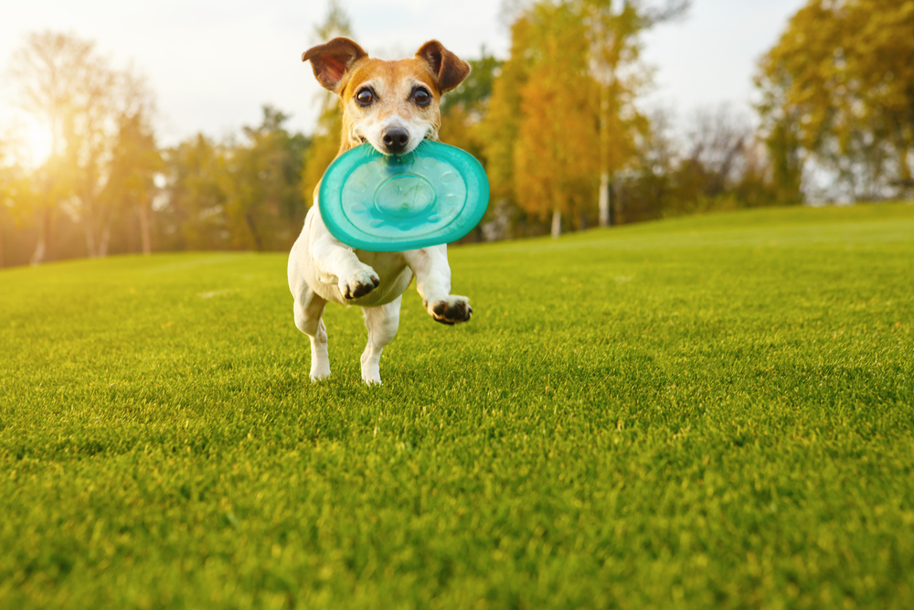 Adorable small dog Jack Russell terrier playing with blue rubber toy disk.