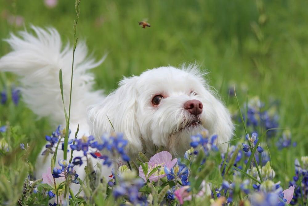 A dog amongst wildflowers admiring a bee