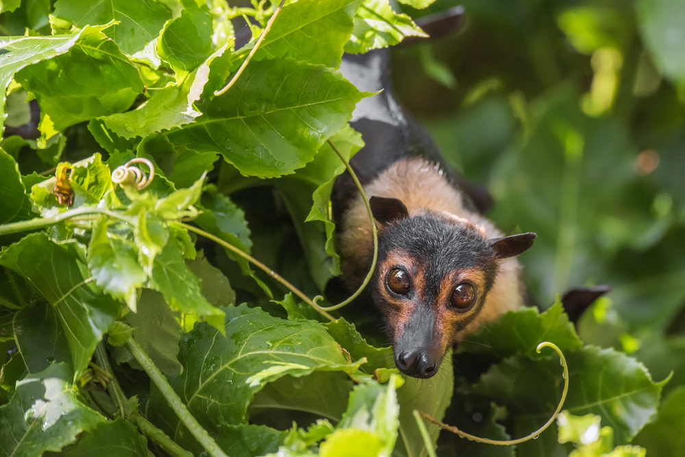 A wild Spectacled Flying Fox among some passionfruit vines at a wildlife hospital in Kuranda, Queensland.
