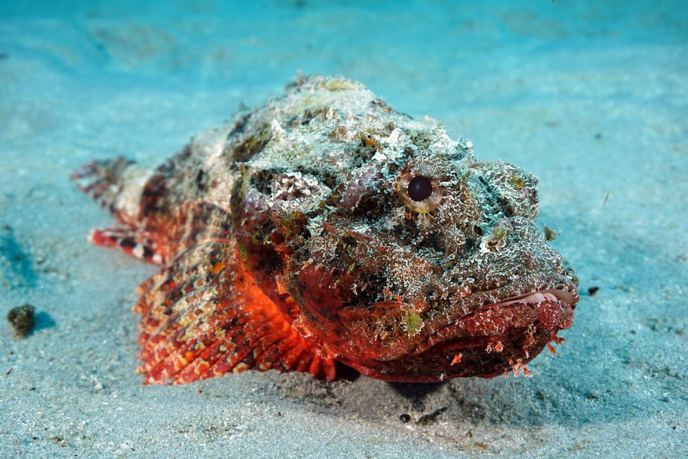 Stonefish in the Sand