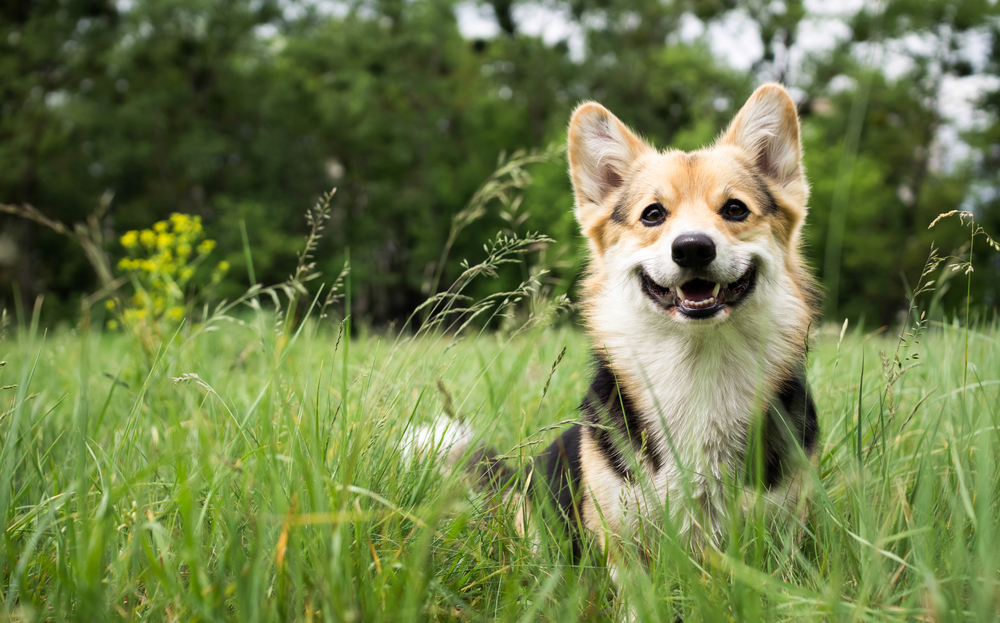 Happy and active purebred Welsh Corgi dog outdoors in the grass on a sunny summer day