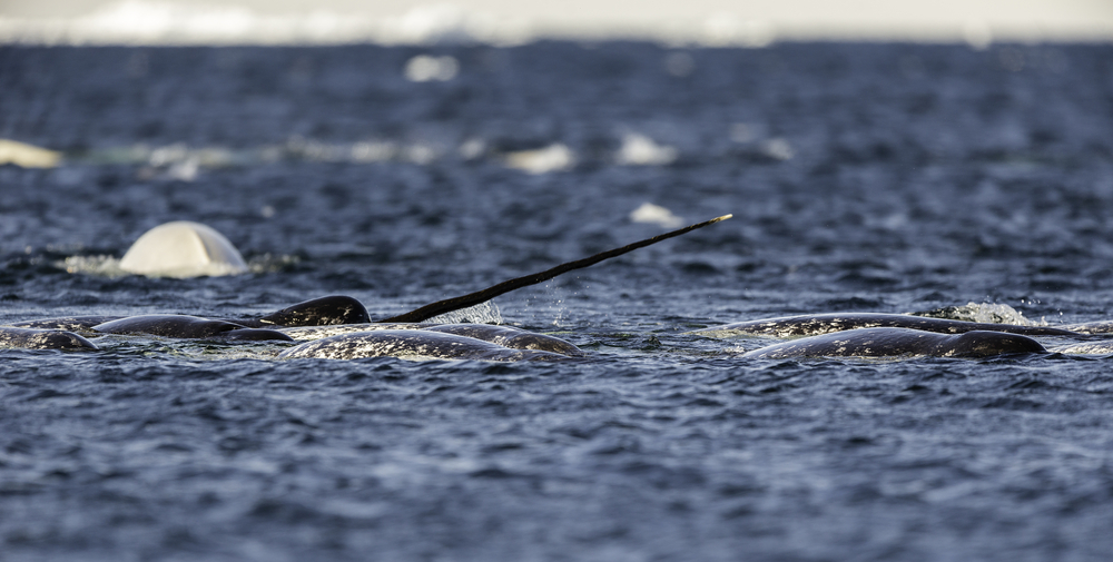 Pod of narwhals feeding on small bait fish on the surface, Admiralty Inlet, Baffin Island, Canada