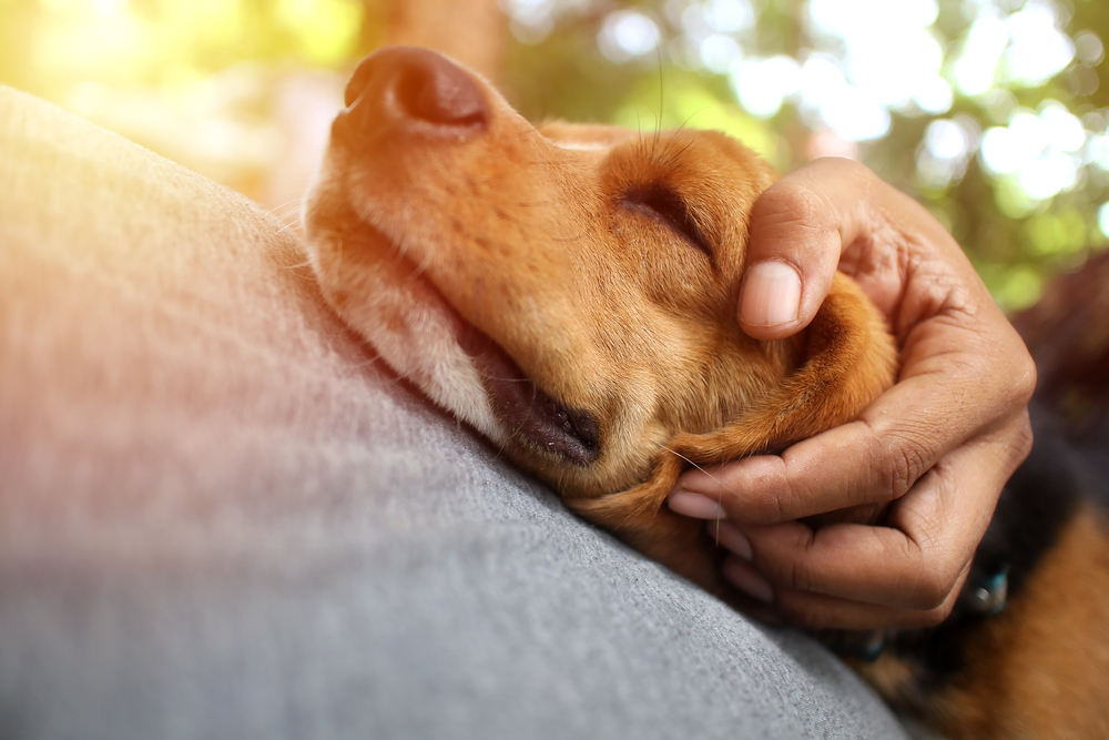Beagle dog sleeps on the owner's belly supported by the owner's hand.