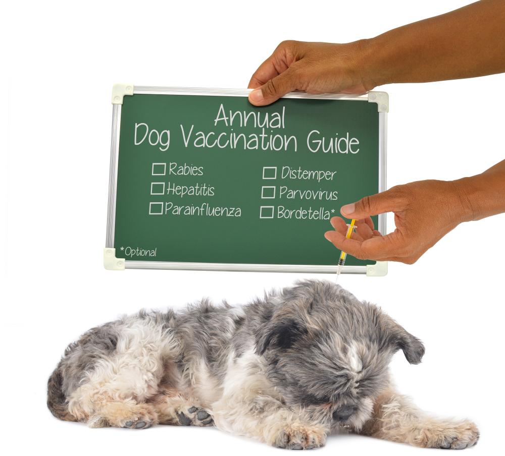 Annual Dog Vaccination Guide (Rabies, Hepatitis, Parainfluenza, Distemper, Parvovirus, Bordetella) Chalkboard Sign Hand giving shot to dog white background