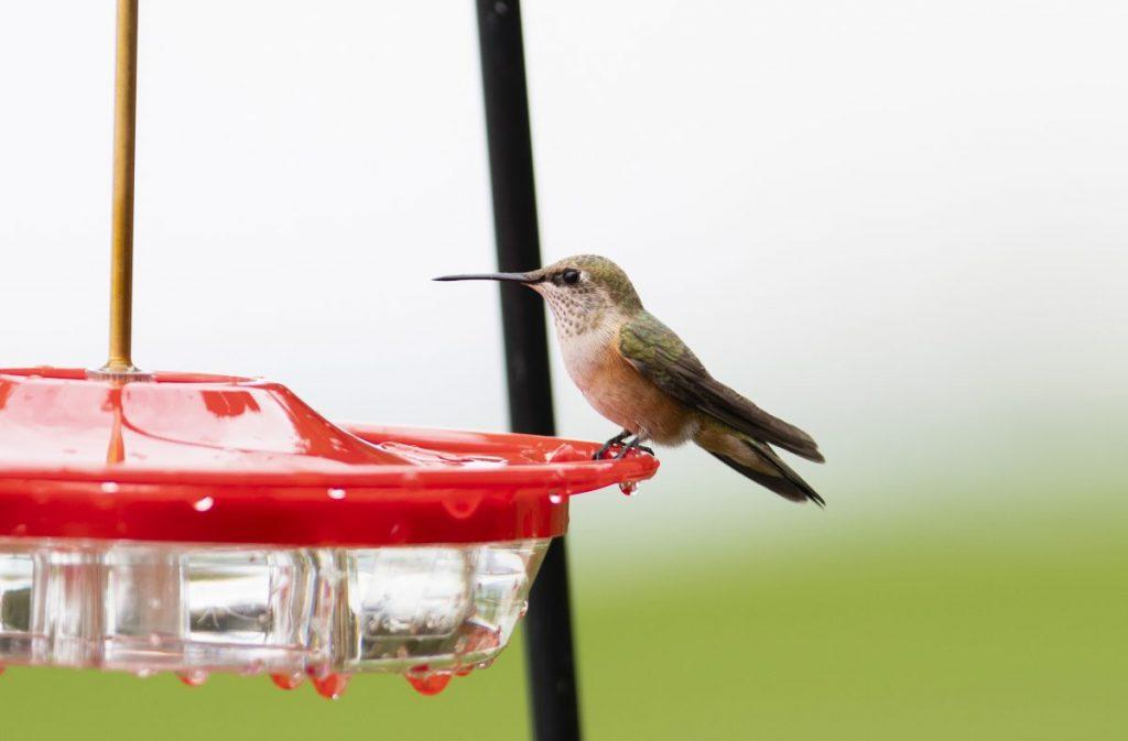 hummingbird nectar feeder