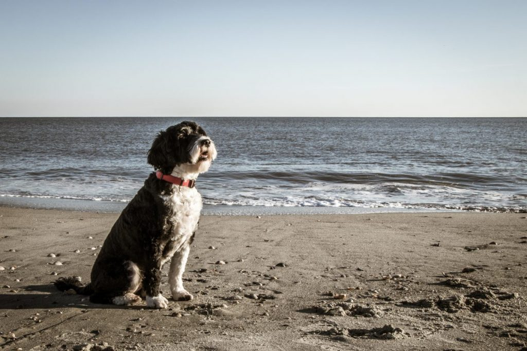 Portuguese Water Dog Beach