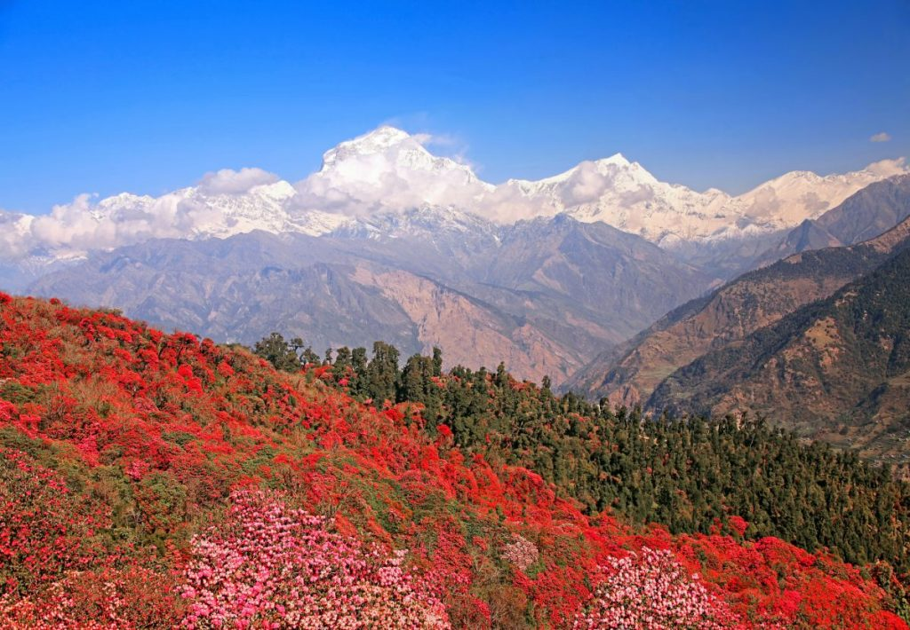Rhododendron forest in Nepal.