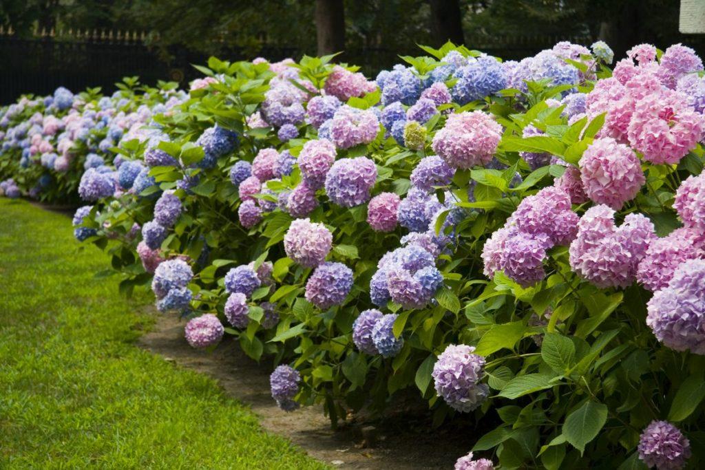 Hydrangeas bloom in many colors.