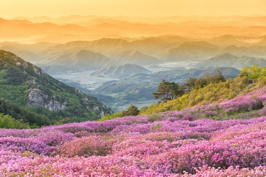 South Korean rhododendrons.