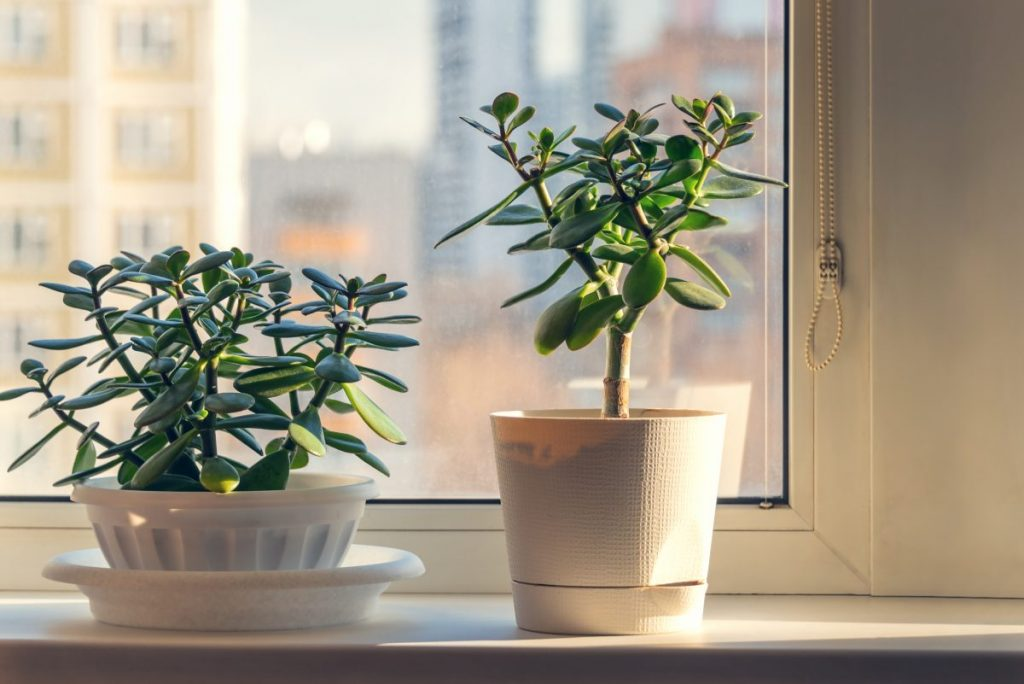 sunlight jade plant window south