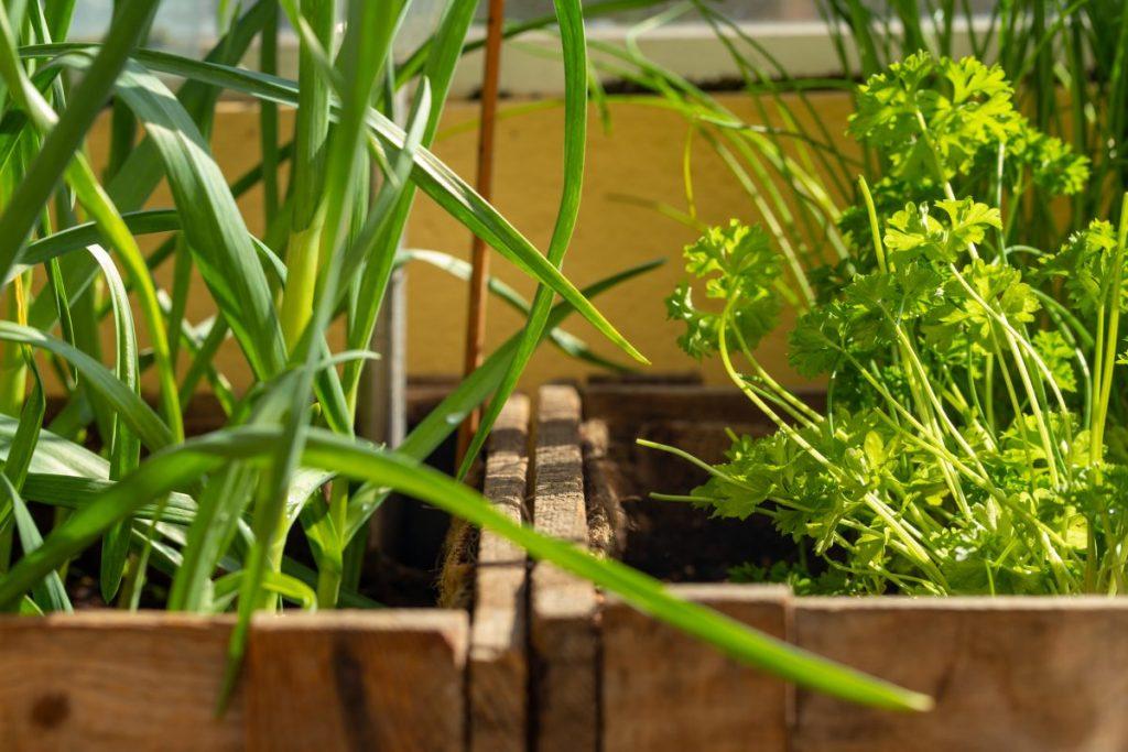 garlic growing container balcony garden