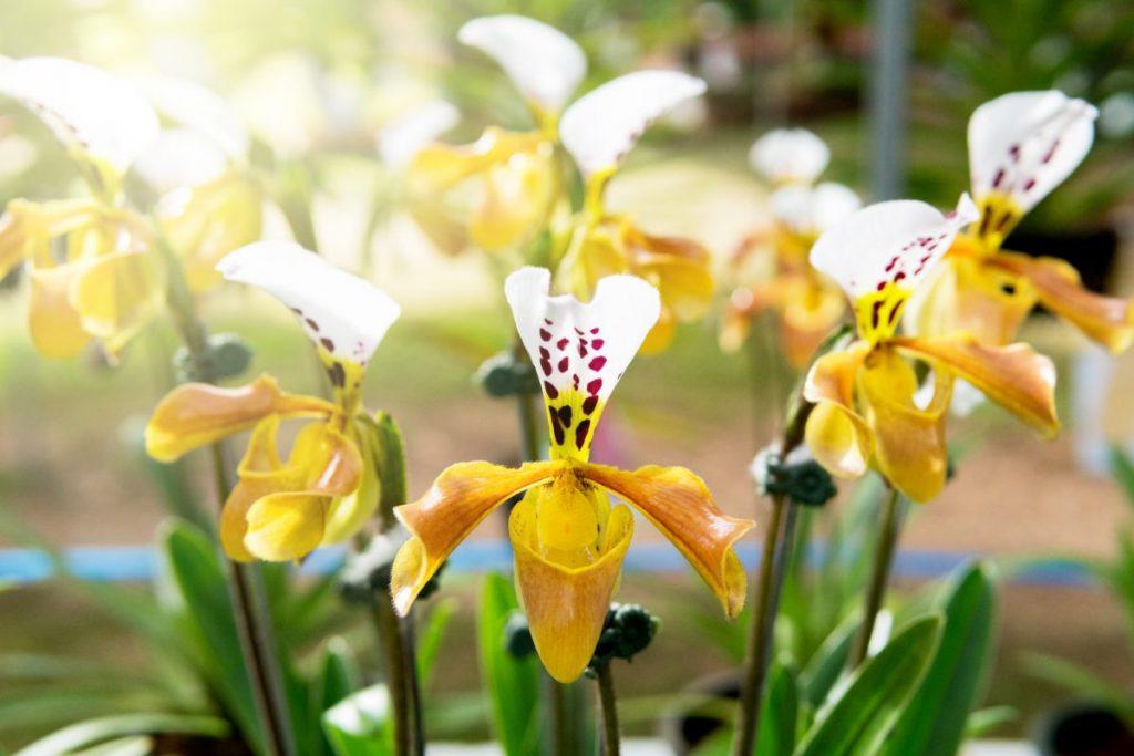 fertilizer orchid