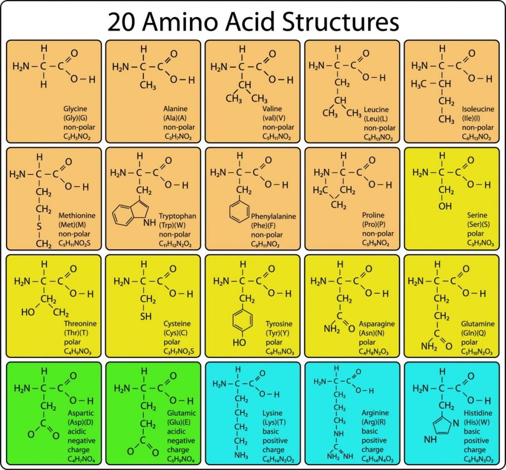 amino acid skeletal structure
