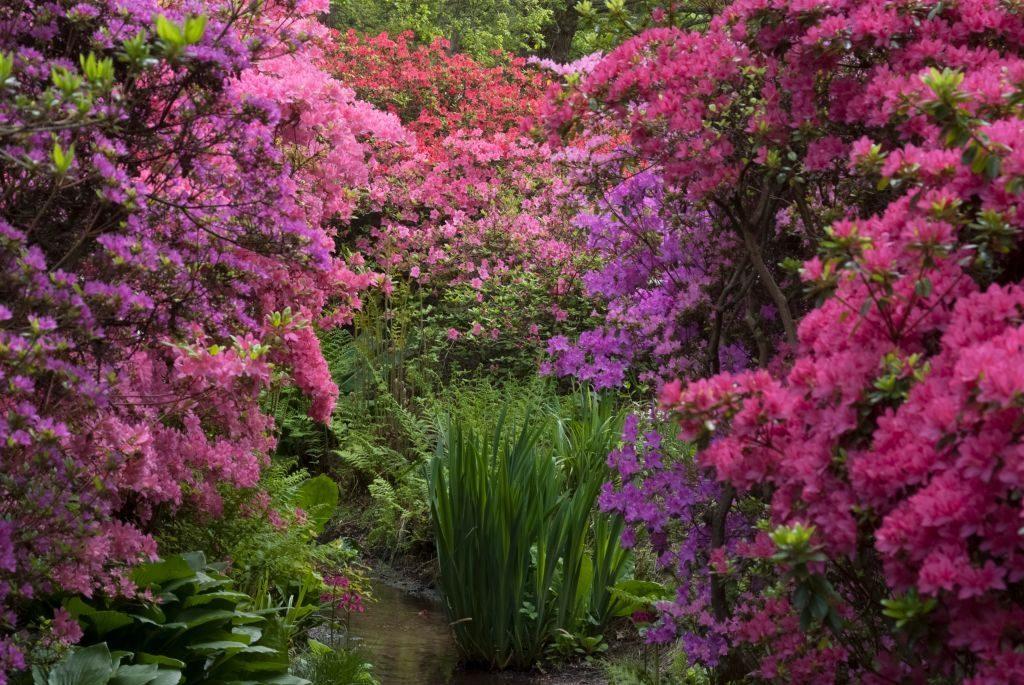 English rhododendron garden.