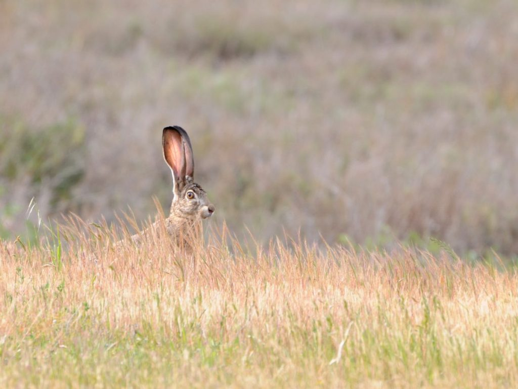 Black-tailed jackrabbit looking startled