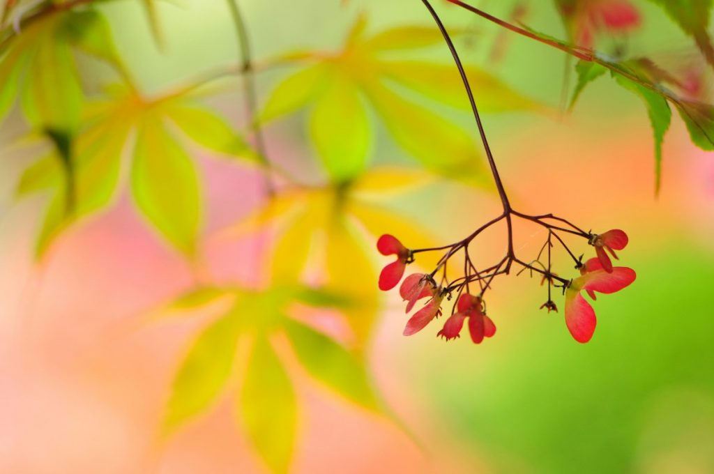 Japanese maple seeds.