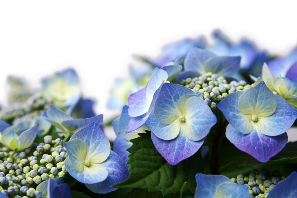 There are many hydrangea types