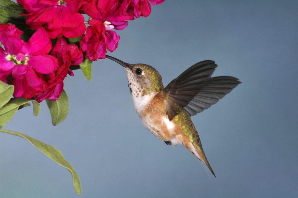Roufus hummingbird flower