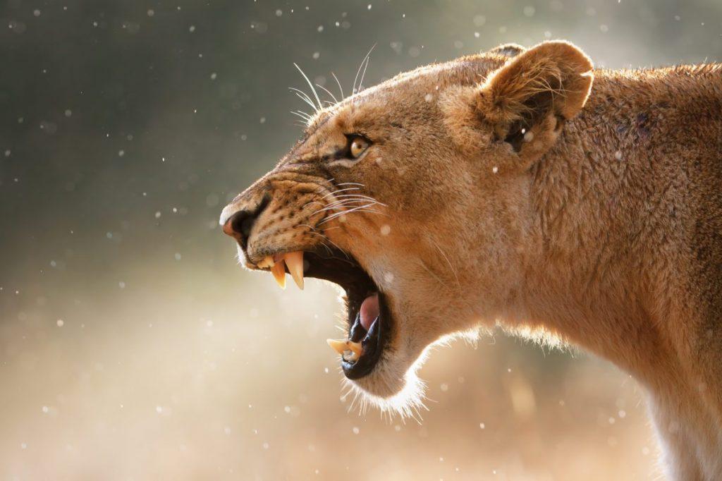 animals threat teeth bare