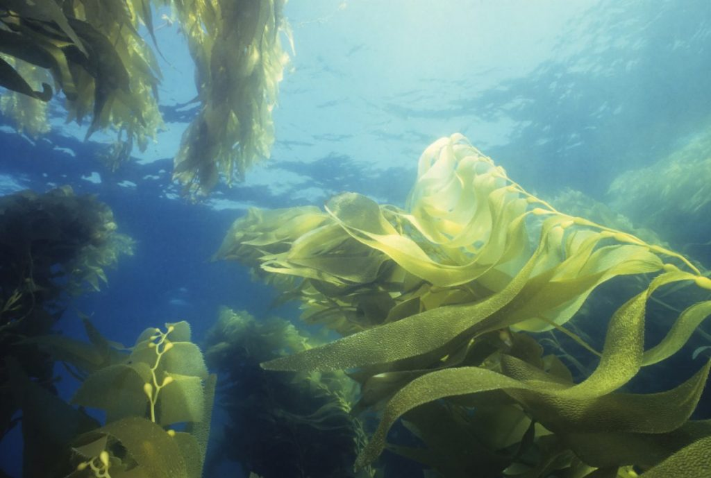 giant green kelp sea plant