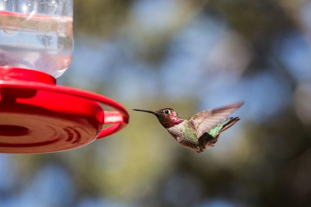 black-chinned hummingbird feeder
