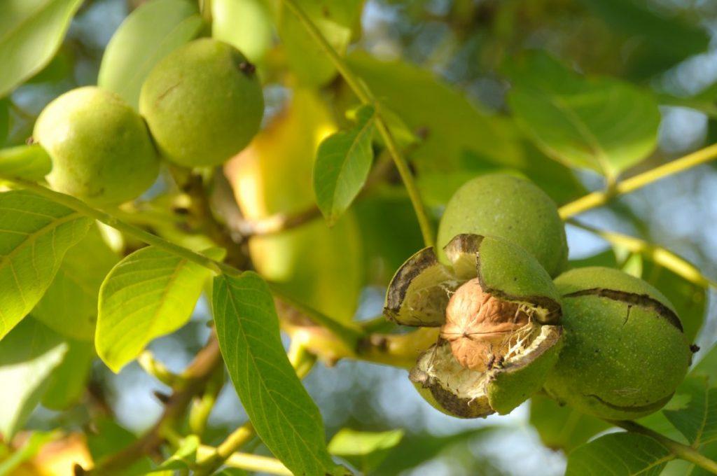 Walnuts Fall Tree Neurotoxins