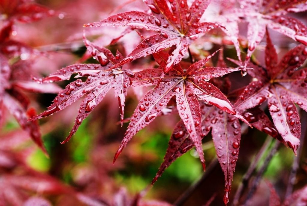 Raindrops on maple leaves.