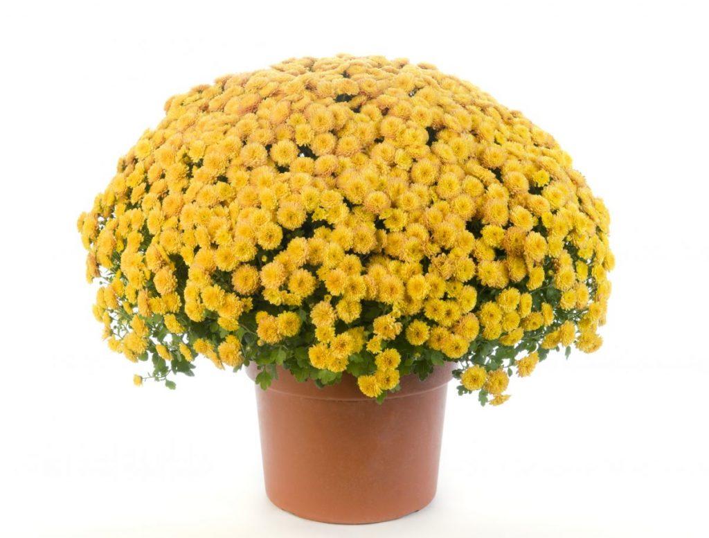 pyrethrum chrysanthemum natural-repellant