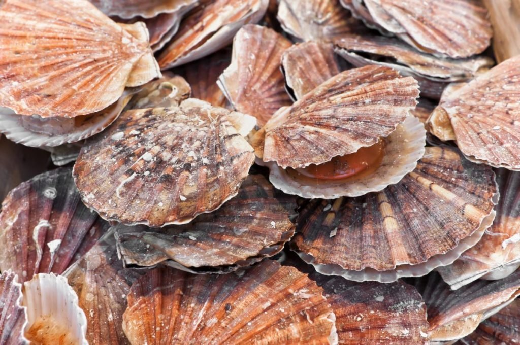scallops mollusks shell