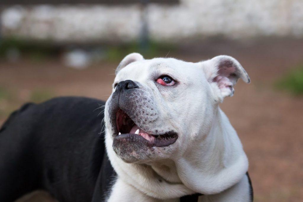 dog eye irritation