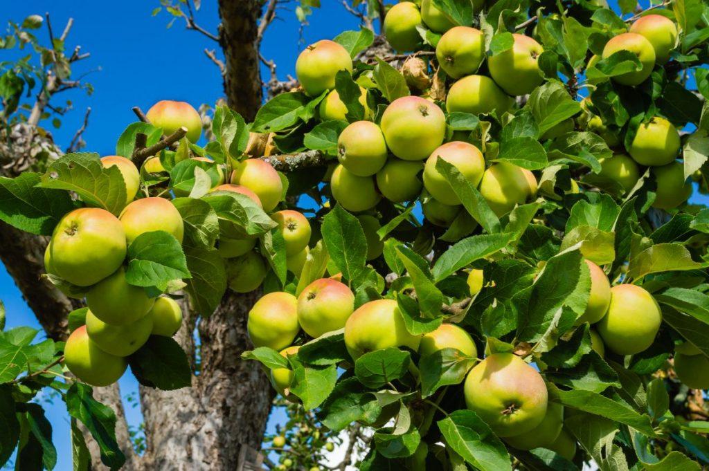 feed fruit trees borax