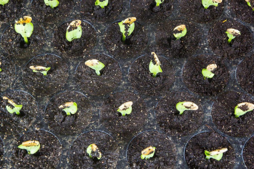 compost tea, mature, soil, ready