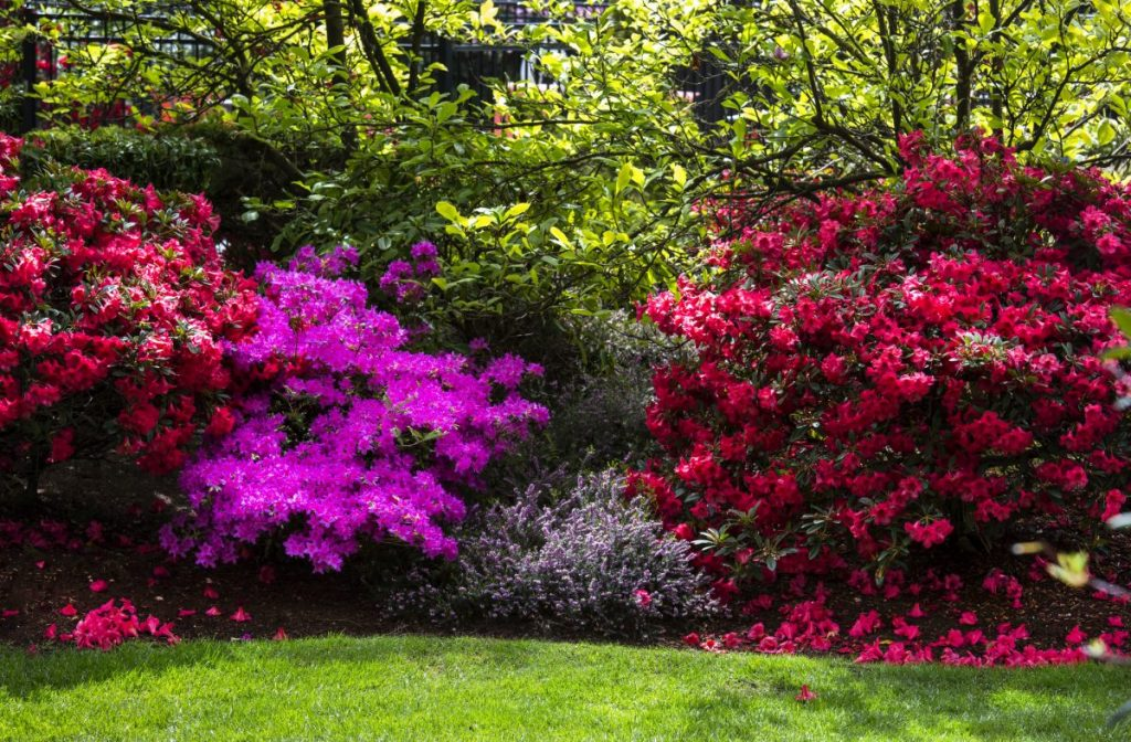 Rhododendrons blooming in Washington.